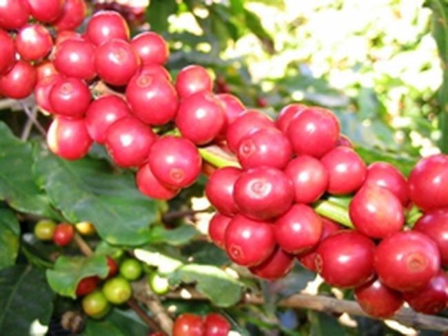 Giá cà phê tái vượt mốc 40 triệu đồng/tấn