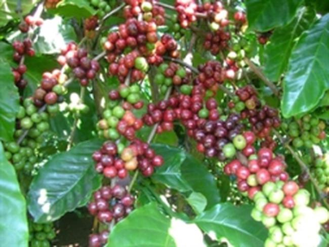 Xuất khẩu cà phê tháng 4 sụt mạnh