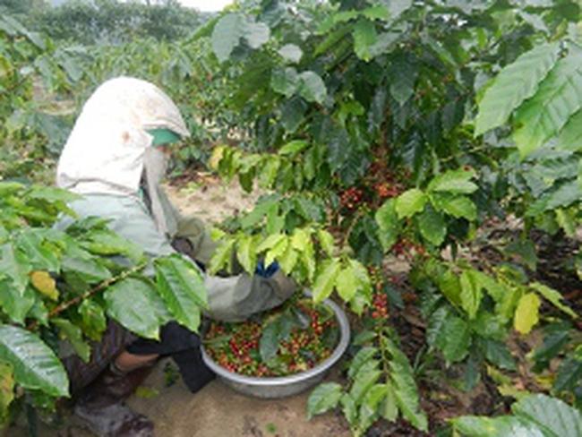 Hệ lụy kép từ phá cà phê trồng hồ tiêu