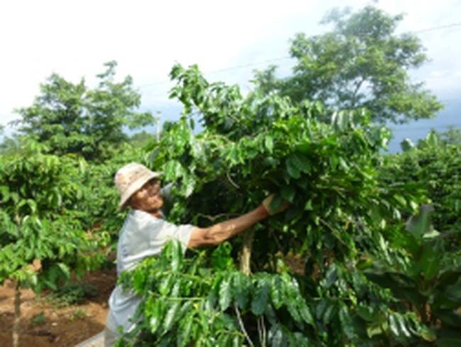 Ôm nợ vì dự án cà phê... siêu lá