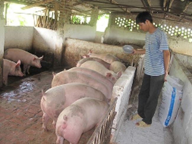 Người chăn nuôi đối mặt vỡ nợ: Nuôi lợn như... đánh bạc
