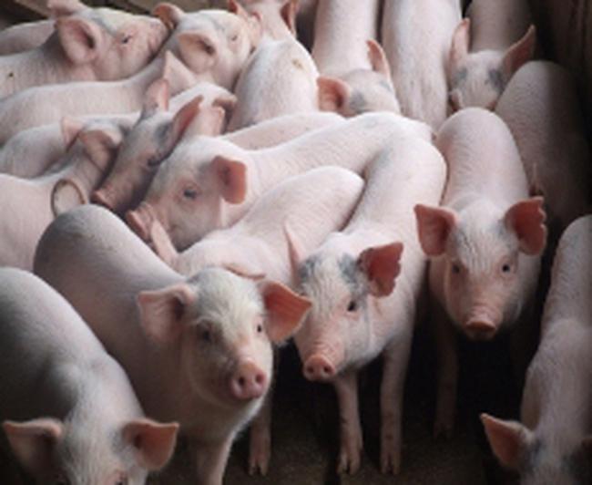 Giá thành chăn nuôi cao một phần do con giống