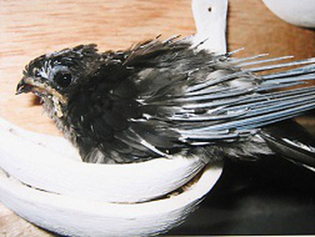 Dân nuôi chim yến hoang mang