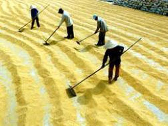 Các doanh nghiệp xuất khẩu hơn 1,6 triệu tấn gạo