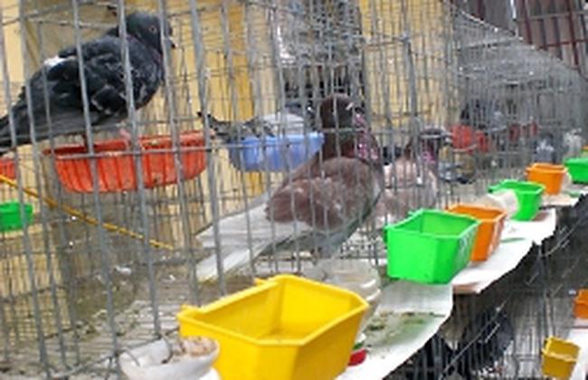 Dạy chim hót kiếm bạc tỷ