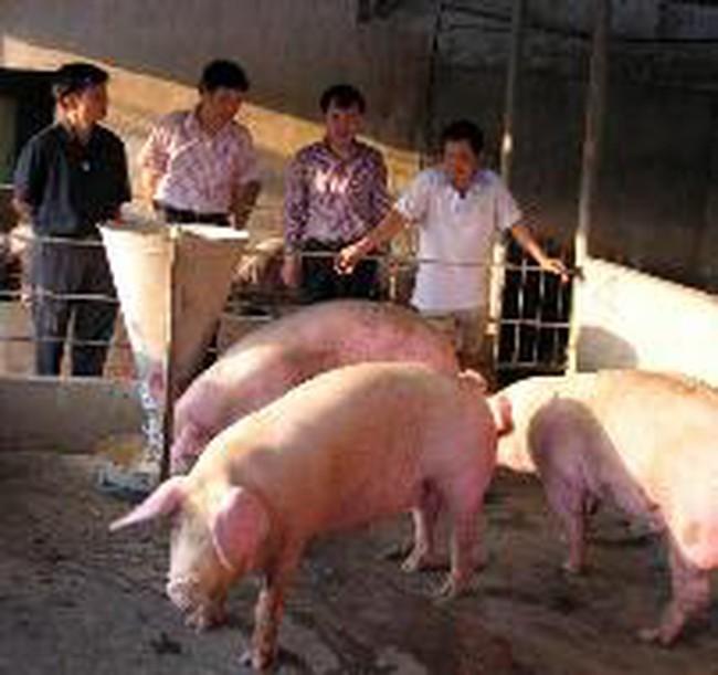 Tìm cách giải cứu chăn nuôi