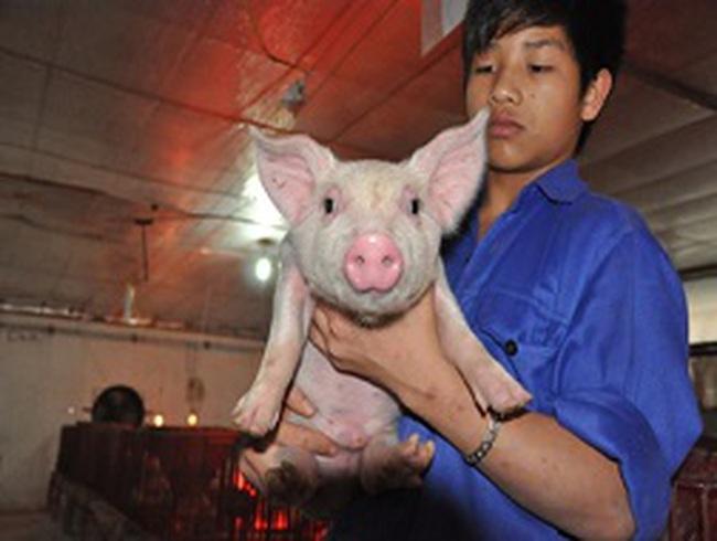 Thu hơn 50 tỷ đồng mỗi năm nhờ nuôi lợn ở...chung cư