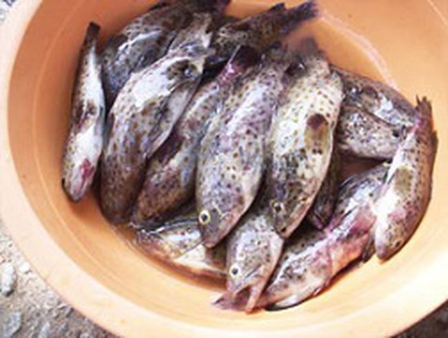 Cá mú nuôi chết hàng loạt do nắng nóng bất thường