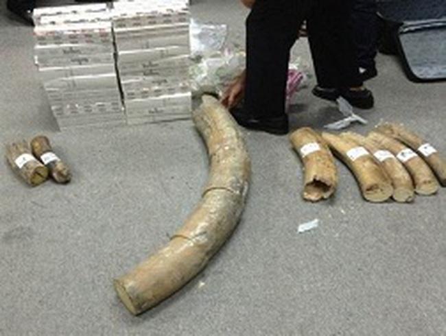 Bắt giữ hơn 50 kg ngà voi qua đường hàng không