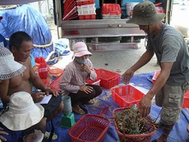 Nhiều rủi ro, nông dân bỏ nuôi tôm hùm?