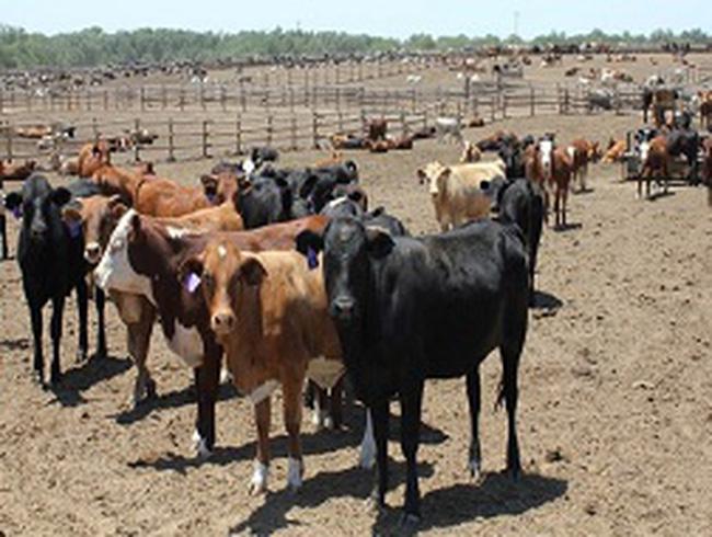 Quốc tế báo động thuốc tăng trọng gia súc