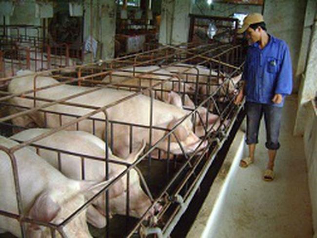 """Vĩnh Phúc: """"Vỡ mộng"""" chăn nuôi tập trung"""