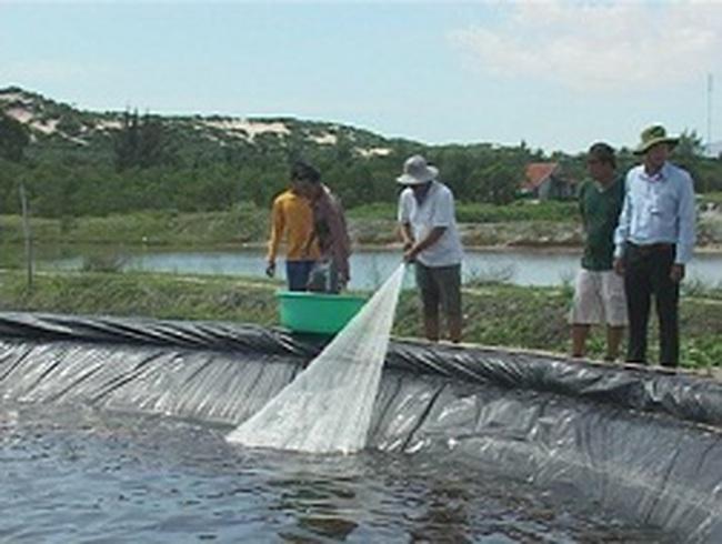 Khánh Hòa: Bội thu tôm chân trắng nuôi theo công nghệ cao