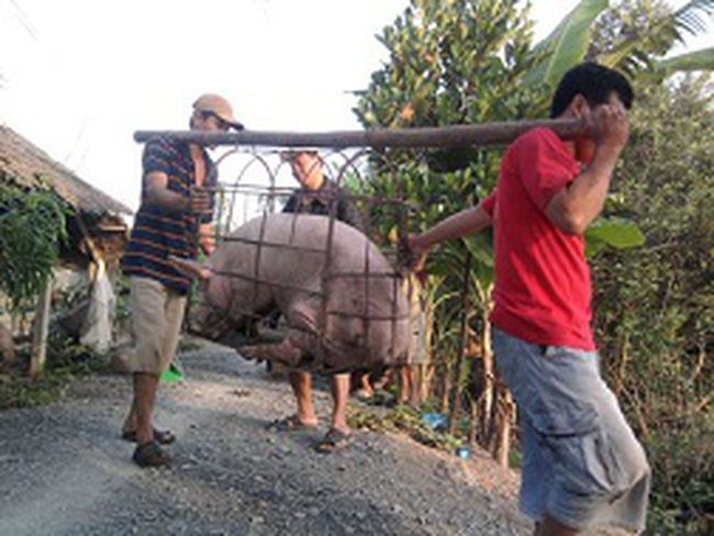 Gom lợn mỡ bán sang Trung Quốc