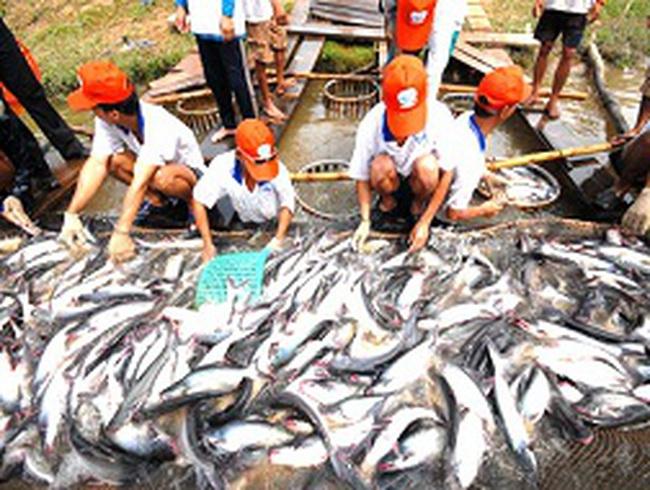 Nhiều doanh nghiệp tạm ngưng xuất khẩu cá tra