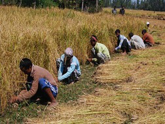 FAO hạ dự báo sản lượng gạo toàn cầu năm 2013
