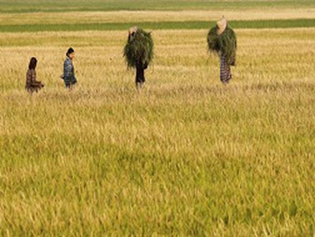 Giá gạo Thái Lan sẽ chạm đáy vào tháng 11 tới