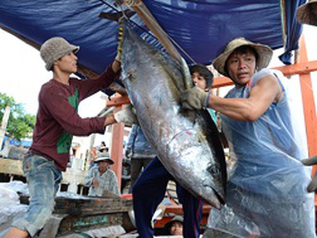 Chất lượng cá ngừ đại dương không phụ thuộc câu đèn hay giàn cao áp