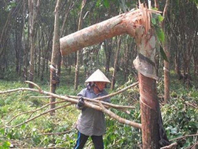 Hàng vạn hécta caosu bị tàn phá sau bão: Bộ NNPTNT không thể né trách nhiệm