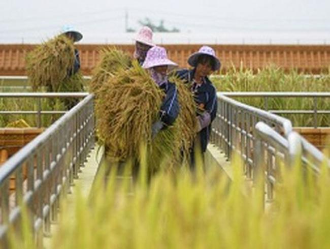 Giá xuất gạo Việt tăng 10% nhờ hợp đồng với Philippines