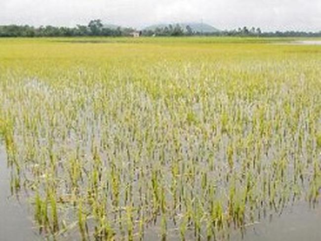 Hàng ngàn ha lúa Thu Đông tại ĐBSCL bị ngập úng