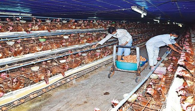 Thịt gà, trứng gia cầm: Giá sỉ quay đầu giảm, chợ lẻ vẫn cao ngất