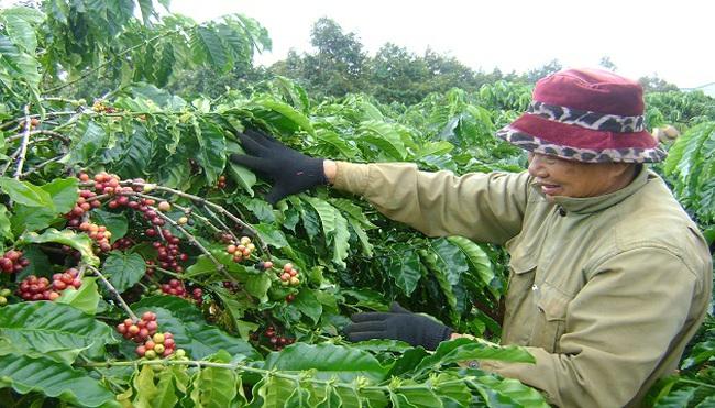Tây Nguyên: Dân điêu đứng vì cà phê rớt giá