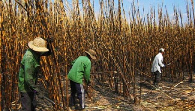 Mía cháy hàng loạt gây hại gần 10 tỷ đồng