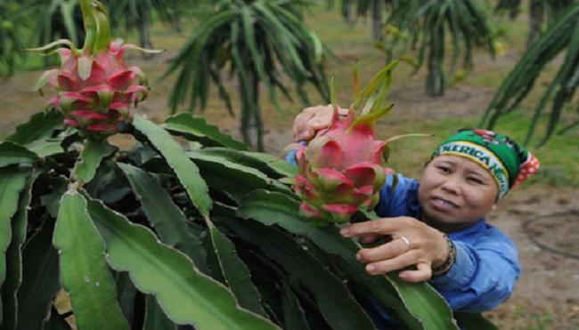 Trung Quốc trồng thành công 20.000ha thanh long: Thanh long Việt hết độc tôn