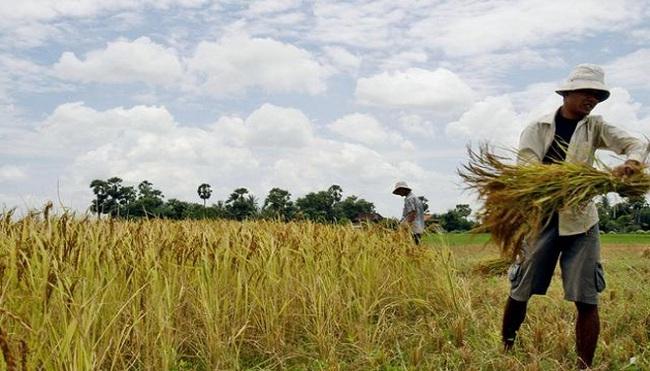 Nhật Bản xem xét tăng hạn ngạch nhập khẩu gạo đối với Mỹ