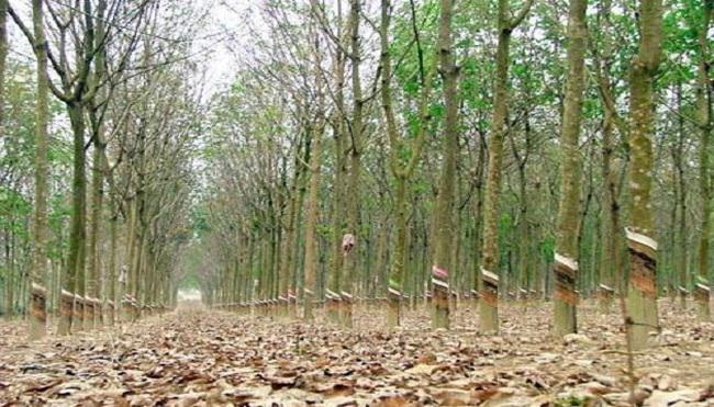"""""""Vỡ"""" quy hoạch trồng cao su có trách nhiệm địa phương"""