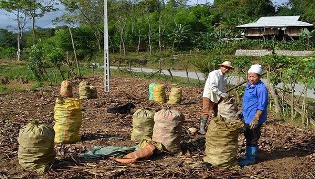 Người trồng dong riềng Bắc Kạn lao đao do giá mua thấp