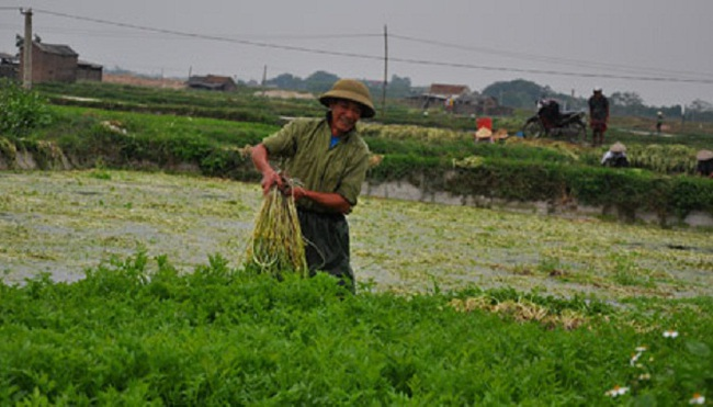 Bắc Giang: Trồng rau cần VietGAP thu 600 triệu đồng/ha