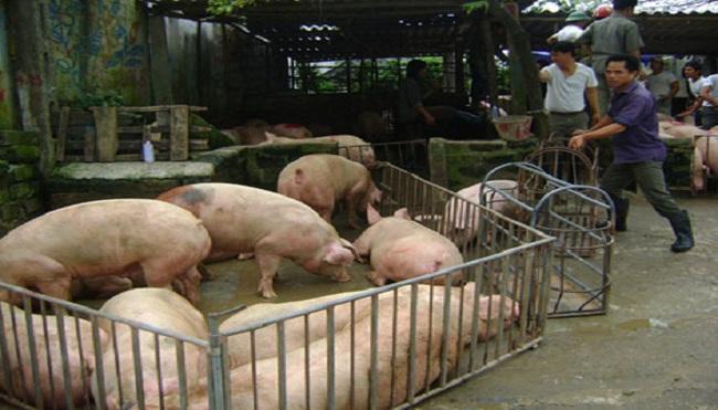 """Các tỉnh miền Bắc: Giá lợn """"sốt"""" vì Trung Quốc tăng mua"""