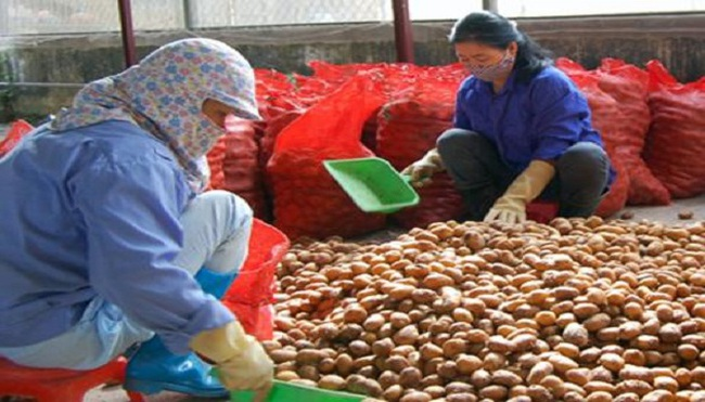 Trầm lắng thị trường khoai tây giống