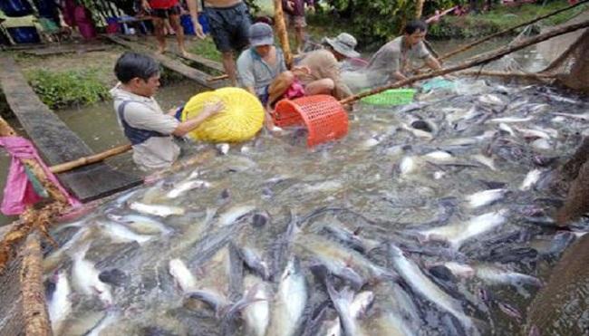 Nông dân nuôi cá tra mất vốn
