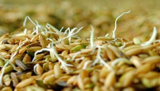 """Phú Yên: """"Loạn"""" lúa giống"""