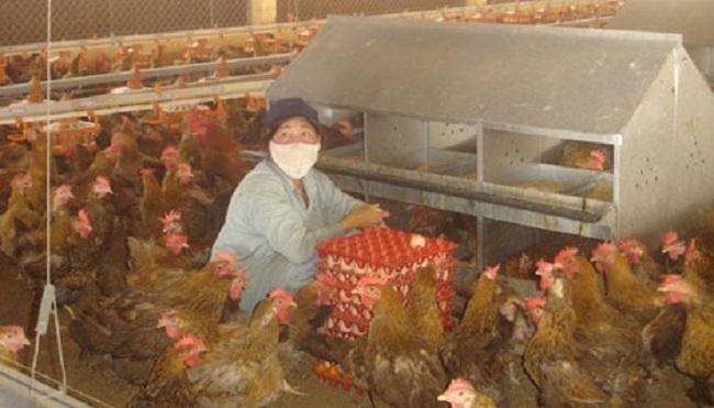 Gần tết, gà nuôi rớt giá