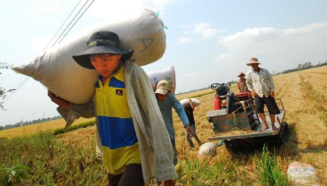 Nông dân lao đao với giá lúa giảm