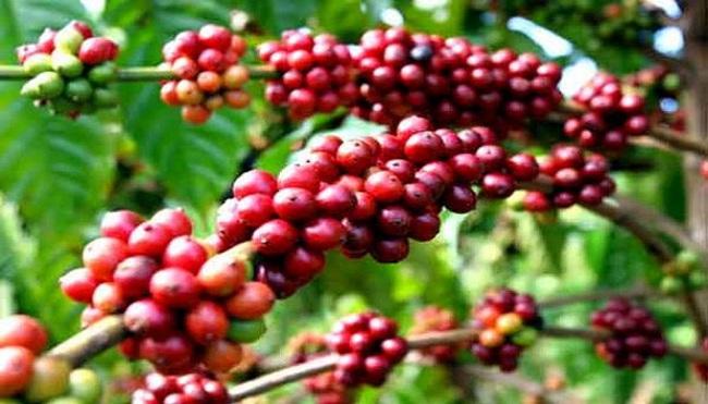 """Sản lượng cà phê sẽ giảm mạnh vì """"cúm"""""""