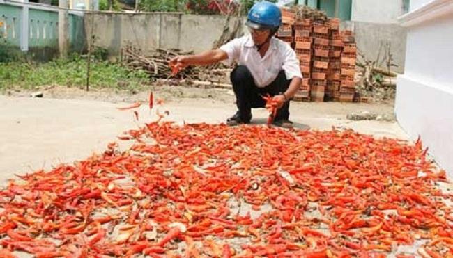 Không hủy giống ớt cay Trung Quốc chưa qua kiểm dịch