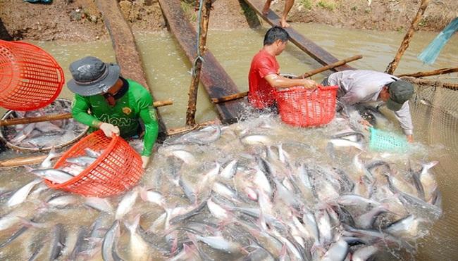 Giá cá tra tăng lên 25.000 đồng/kg