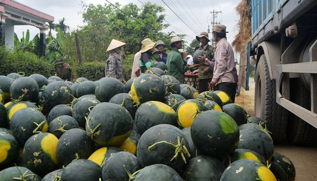 Dưa hấu 2000 đồng/kg: mát ruột khách, đắng lòng nông dân