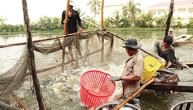 Xuất khẩu cá tra phải đăng ký