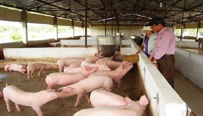 Tiền Giang: Giá lợn hơi tăng, người chăn nuôi thu lãi cao