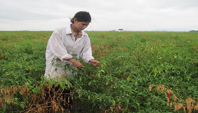 Nông dân Nghệ An 'gặp hạn' vì giống ớt Trung Quốc