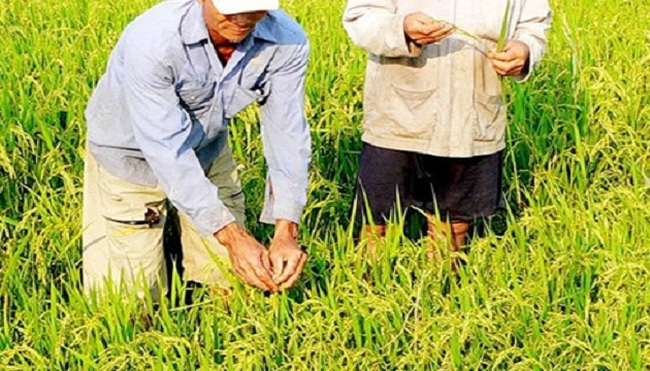 Làm lúa kiểu Nhật: Hạt thóc không tắc đầu ra