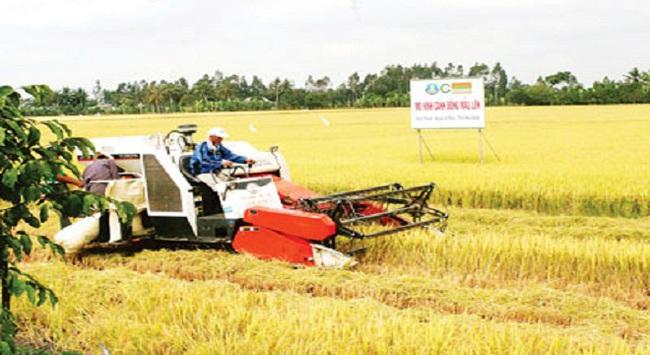 Bước ngoặt lúa thơm