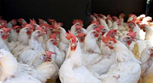 22 loại hóa chất, kháng sinh cấm sử dụng trong thức ăn gia súc gia cầm