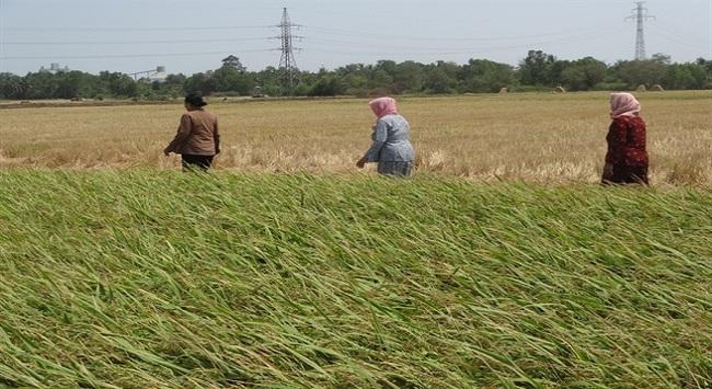 Giá lúa gạo vững đến cuối năm